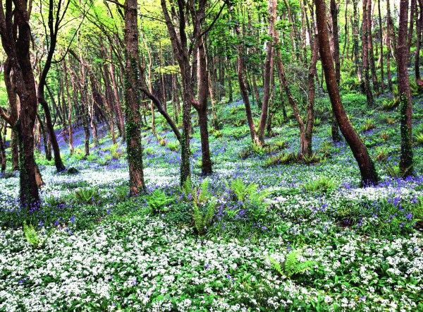 Blue Bells, Courtmacsherrey, Co. Cork
